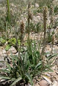 L'ispaghul : La plante qui fait réduire la sensation de faim