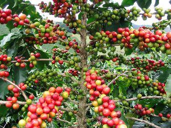 Café vert et régime amaigrissant : Comment les associer ?