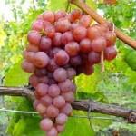 Vertus médicinales du raisin rouge