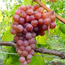 Le raisin rouge et ses vertus médicinales